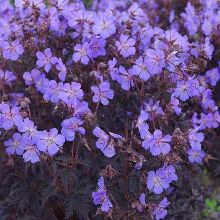Geranium Cranesbill